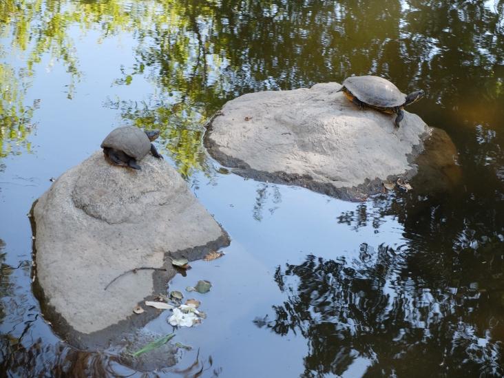 Paisibles tortues, telles des chats se dorant la pilule au soleil.