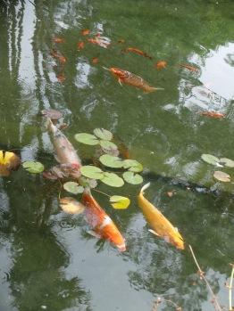 Carpes Koi, dans tout jardin botanique qui se respecte.
