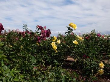 Du rose, des roses !