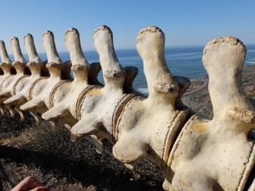 Un squelette de baleines