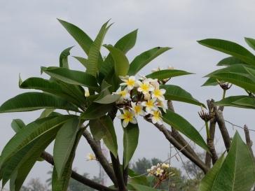 La belle fleur de frangipanier, emblème du pays.