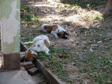 Les chiens de mon oncle... malheureux, très malheureux comme vous pouvez le constater.