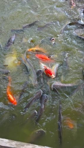 L'étang aux (très) nombreux poissons.