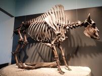 Un squelette de bison : je trouve les vertèbres tout à fait fascinantes.