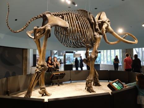 J'ai dû reprendre la photo plusieurs fois afin que le squelette entre entièrement dans le cadre de celle-ci. On pourrait faire une cabane sous ce mammouth !
