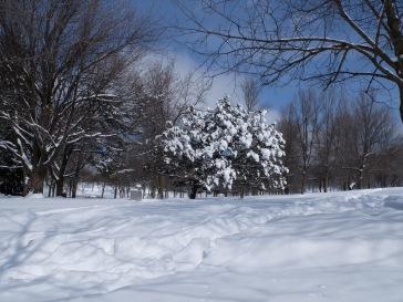 Un arbre qui accroche la neige au milieu des autres arbres dénudés.