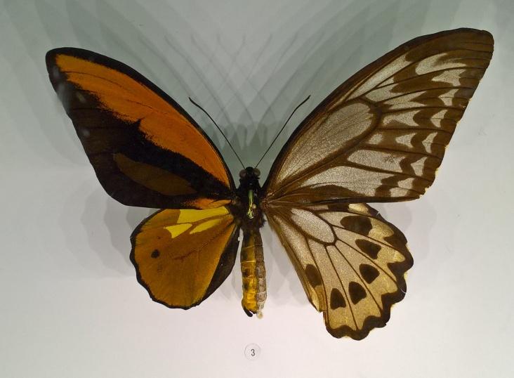 Un exemple de gynandromorphisme