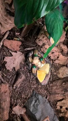 Eudicella Smithi (Zimbabwe) ou l'insecte typique de mon imaginaire archéologique à la manière d'Indiana Jones ou Adèle Blanc-Sec