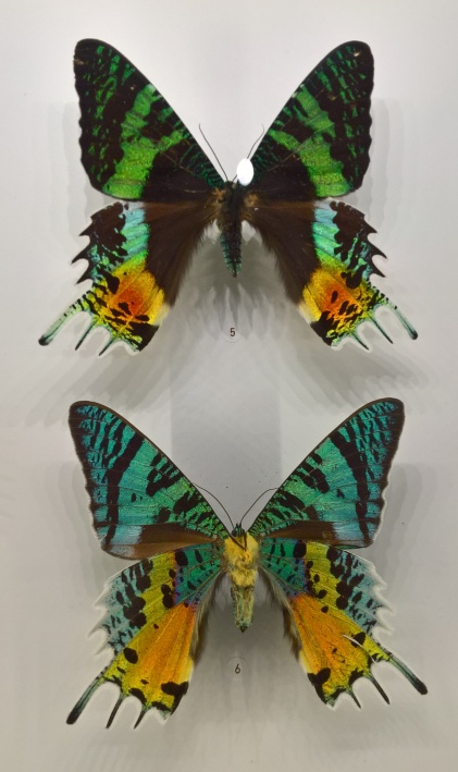 Chrysiridia Ripheus (Madagascar) : des papillons de nuit avec des caractéristiques de papillons diurnes !