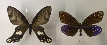 """Amnesia Sanguiflua : à droite on retrouve le papillon que j'avais nommé """"constellation"""" à Done Khone. Effectivement, ces papillons viennent du Laos ! Ils appartiennent à des groupes nocturnes, mais ces papillons vivent le jour. Cela explique peut-être le motif étoilé..."""