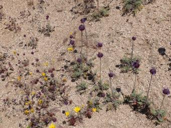 Petites fleurs du désert