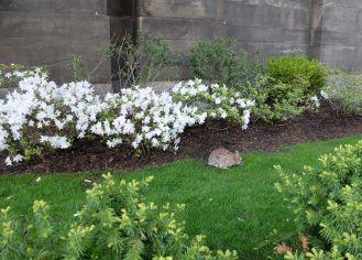 Dans les villes, je connaissais les pigeons et les écureuils, mais pas les lapins ! On en a croisé plusieurs dans les rues...