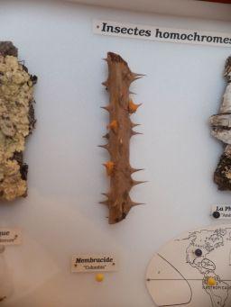 Les membracides, insecte homochromes et homomorphes : les voyez-vous ?