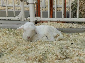 Il est tard pour les petits agneaux...