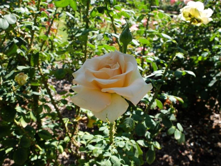 """""""Marilyn Monroe"""" : avouez que cette rose porte bien son nom !"""
