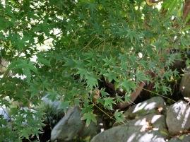 Un bel érable japonais. Je crois que les feuilles prennent une teinte rouge vif en automne !