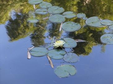 Les jolis nénuphars (bonjour Monet !)