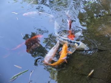 Les carpes Koi s'ébrouent joyeusement dans l'eau !