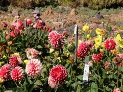 Il existe quatre formes de dahlias : collerette, décorative, bali et cactus. Je ne me souviens plus à quoi correspond quoi malhereusement.