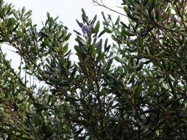 Je cherche l'espèce de cet arbre ! Je ne sais pas ce que c'est, mais j'aime la forme des feuilles...