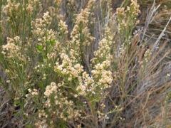 Les petites fleurs blanches du désert.