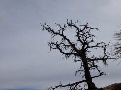 Un arbre gothique