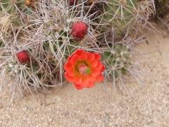 Les merveilles du désert, qu'on voit de loin puisque ce sont les seules grosses fleurs colorées que nous pouvons apercevoir.