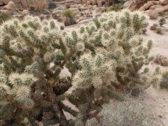 Cactus tout doux ?