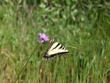 Un joli papillon... et un autre insecte volant !