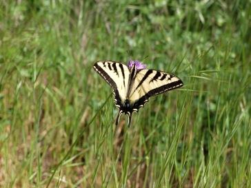 Un joli papillon...