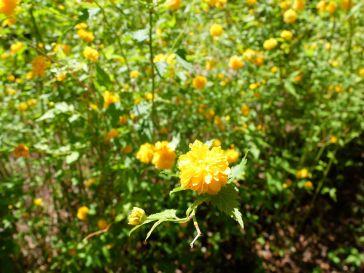 Une corête du Japon, dernier coup de coeur botanique avec le lilas chinois.