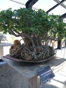 "Schefflera Arboricola, ou ""arbre-parapluie"", ""arbre-ombrelle""..."