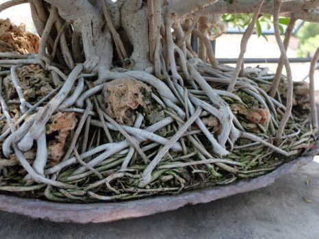 Avec cet entrelas de racines tout à fait fascinant (plus que le reste de l'arbre !)
