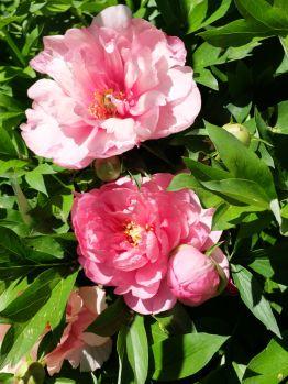 Jolies pivoines en fleurs (1)