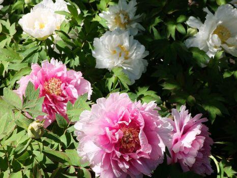 Jolies pivoines en fleurs (2)
