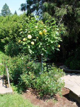 Des roses sous la forme d'un arbre. Je ne sais pas si c'est moi, mais j'ai l'impression de ne pas avoir souvent vu cette forme.