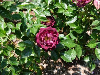 """Rose miniature """"Wistful"""" et une de mes couleurs préférées."""