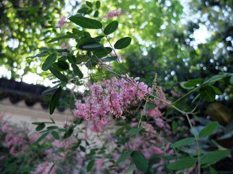 Fleurs délicates et odorantes.