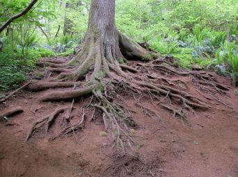 Les belles racines