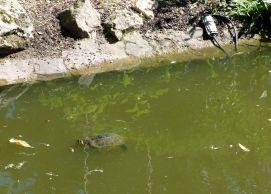 Une tortue ! J'en cherchais dans les jardins de Portland, mais elles étaient en fait à Nantes !