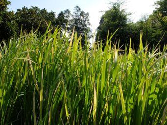 Les hautes herbes chantantes