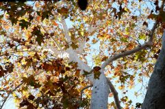 Feuilles d'automne à Claremont : on a une saison de retard et jamais d'hiver.