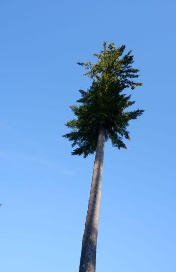 Le conifère qui aurait voulu être un palmier.