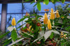 """Une plante appelée """"golden shrimp"""""""
