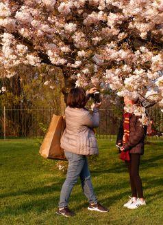 Les cerisiers ont toujours aussi fière allure dans la lumière dorée de fin de journée.