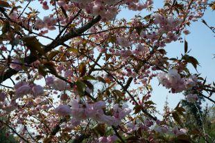 Cerisiers, pruniers, je ne sais plus, mais ces arbres sont magnifiques.