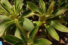 Cylindrocline lorencel : une plante qui est passée très près de l'extinction. Les scientifiques l'ont fait pousser à nouveau grâce aux dernières cellules existantes de cette plante.