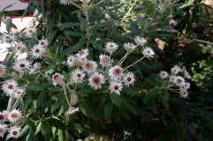 """Olearia Pannosa """"Silver Daisy Bush"""" : on dirait vraiment des fleurs du désert."""