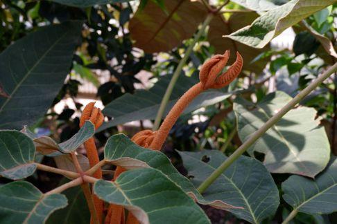Schefflera macrophylla : une plante que j'aurais pu qualifier d'extraterrestre.