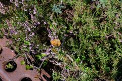 Lézards et papillons sont les habitants du coin.